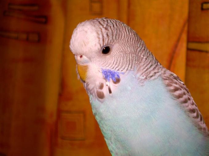 Как искупать попугая