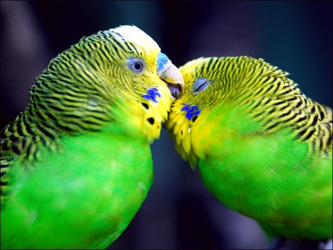 Как кормить волнистого попугайчика