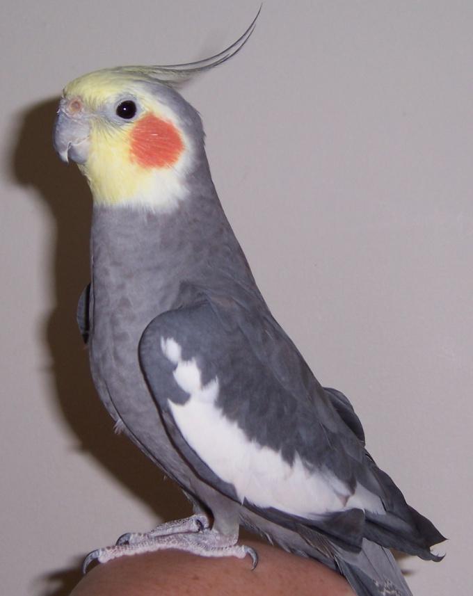 Как определить возраст попугая кореллы