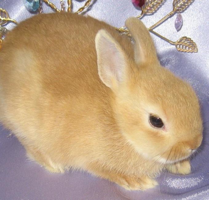 допоможіть що в мене за порода кролика на шиї і біля хвоста довга шерсть а по тілу ніт?