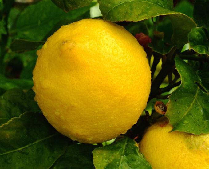 Как вырастить лимон на подоконнике