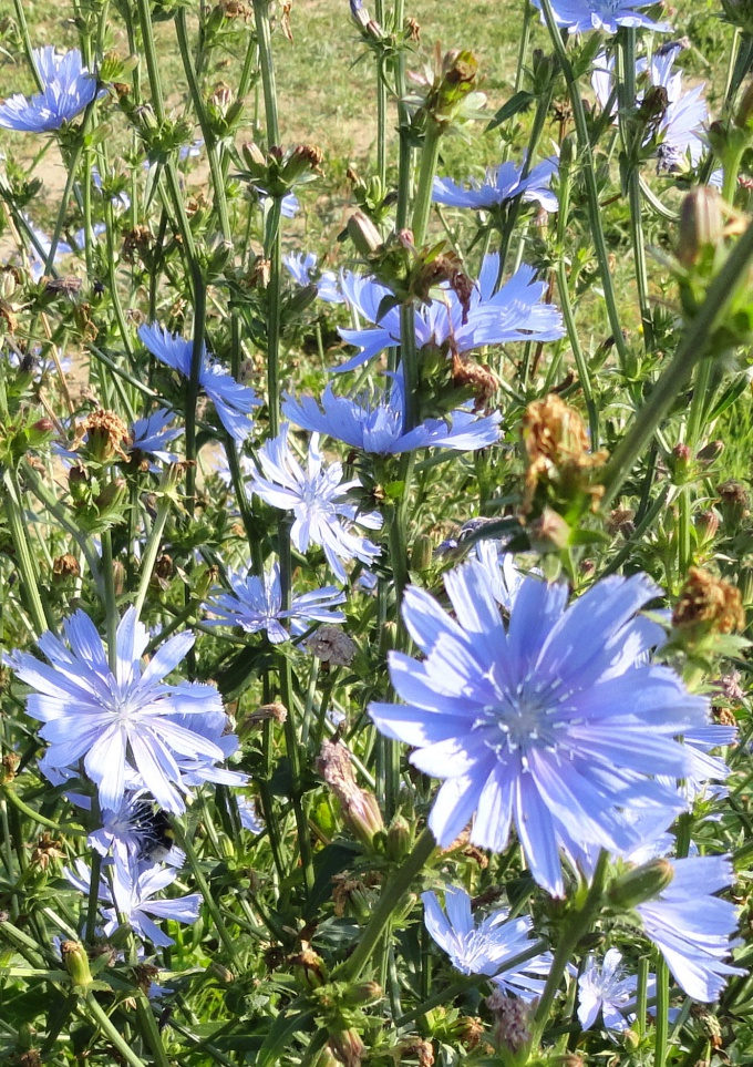 How to prepare chicory