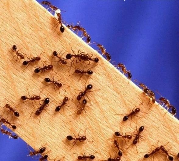 Как избавиться от маленьких муравьев