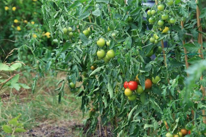 Как формировать томаты