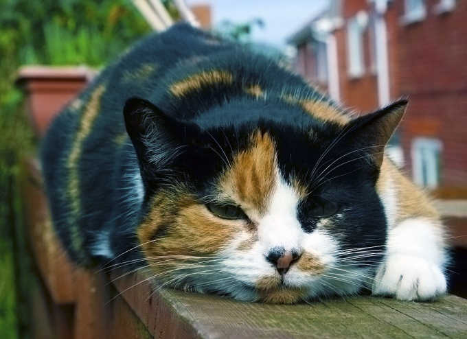 распухшее ухо у кота