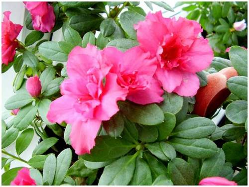 How to plant a flower in a pot