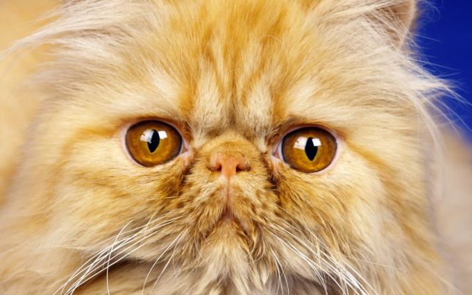 How to cut a Persian cat