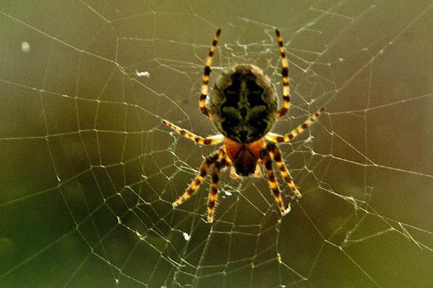 как назвать паука