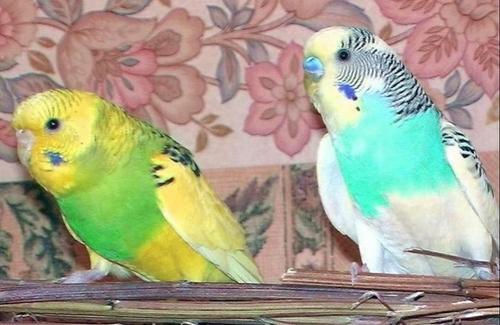 Как лечить волнистого попугайчика