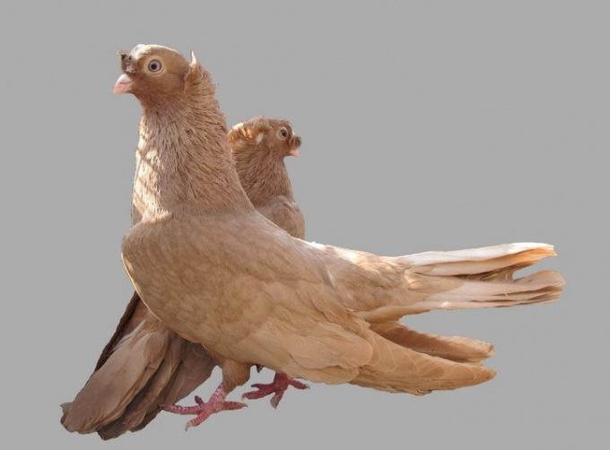 жидлище для голубей