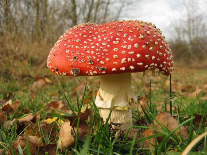 Как отличить ложный гриб