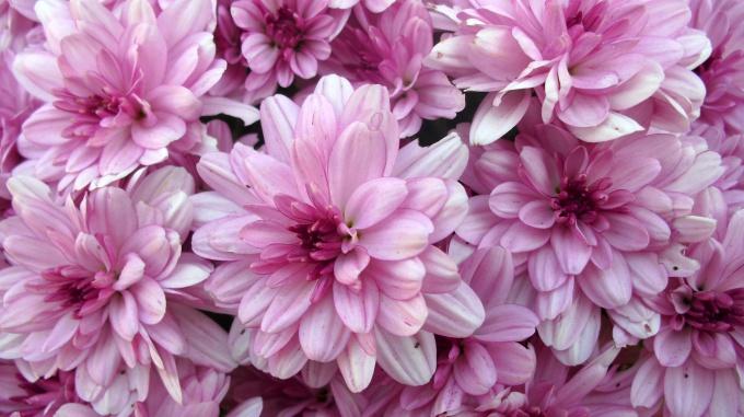 Как черенковать хризантему