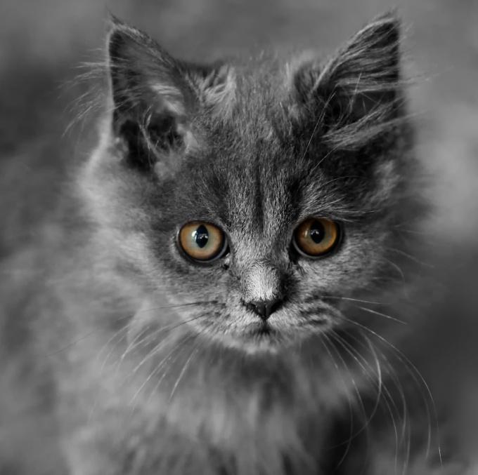 Как назвать британского кота