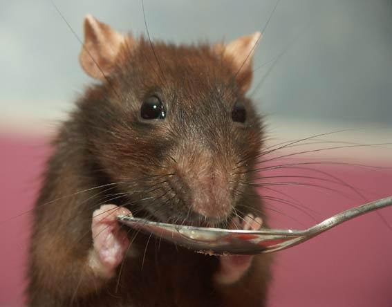 Как определить возраст крысы