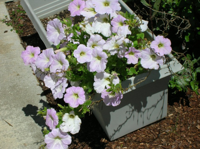 How to water the seedlings petunias