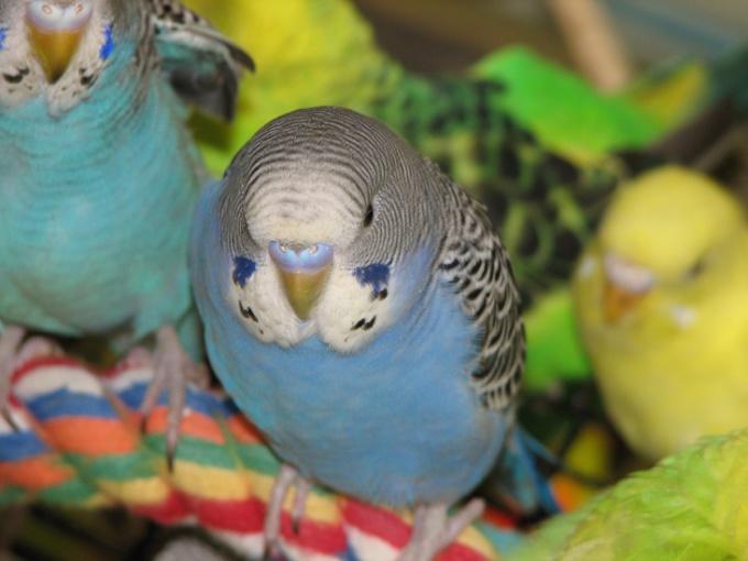 Как отличить старого попугая от молодого