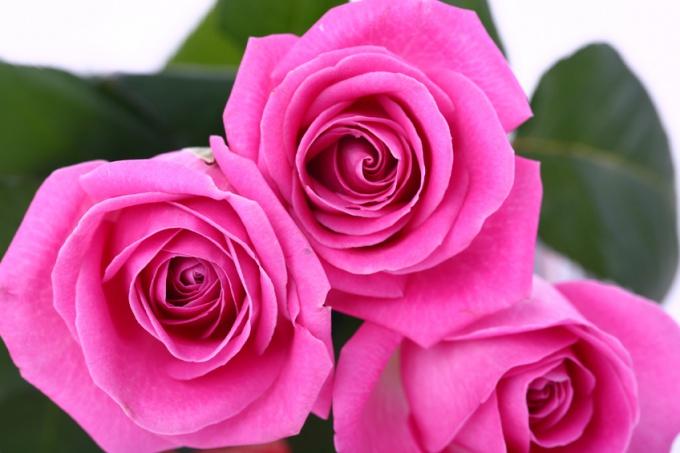 Как посадить подаренную розу