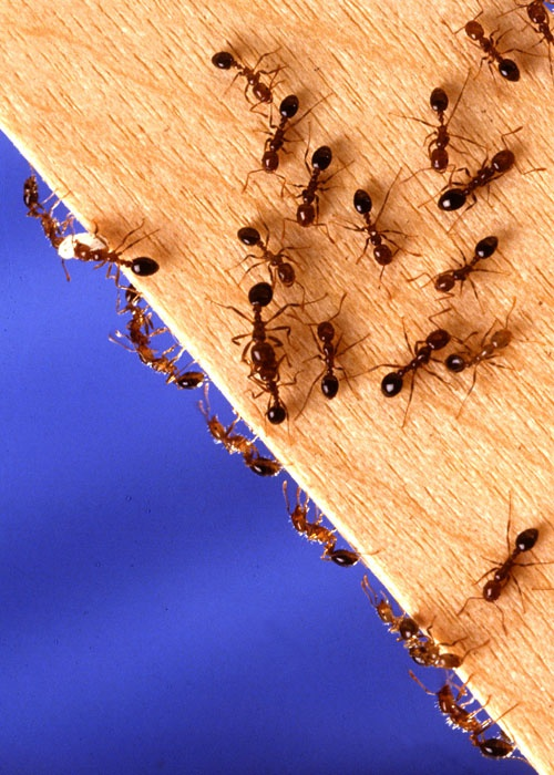 Как уничтожить домашних муравьев