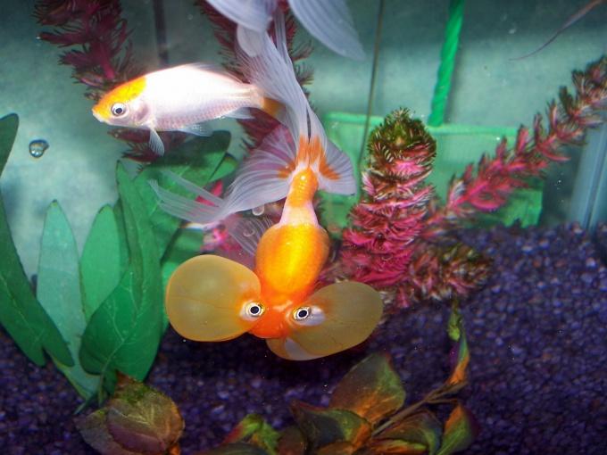 наблюдение за аквариумными рыбками