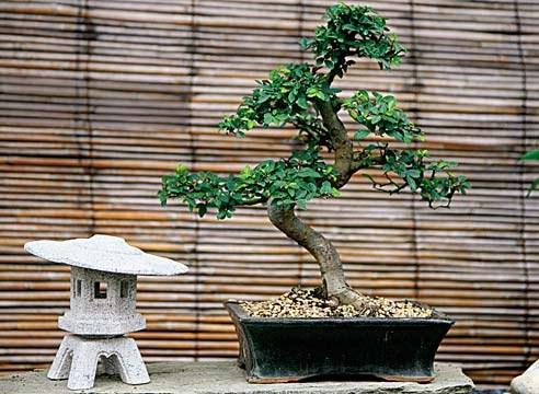 How to grow bonsai oak