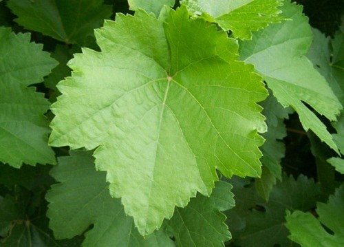 How to prepare grape leaves