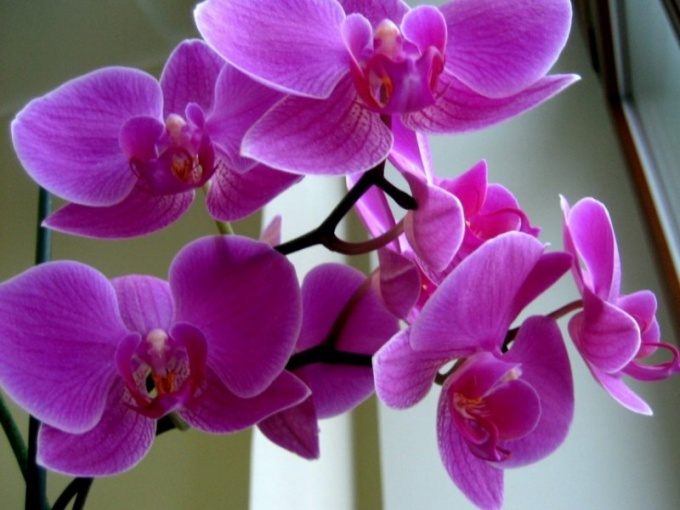 Why the orchid turns yellow