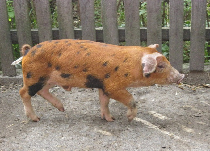 порода рыжих свиней фото что задумал, пусть