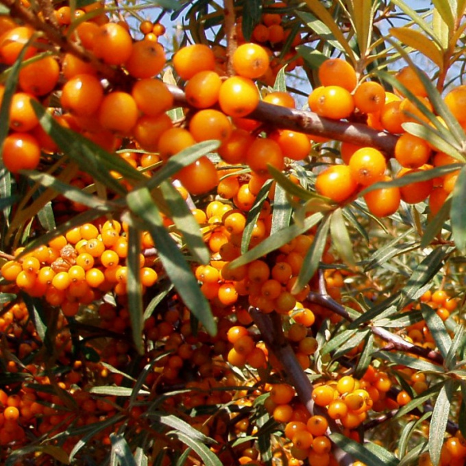How to get rid of buckthorn