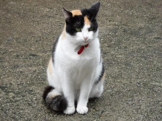 Как надевать кошке ошейник