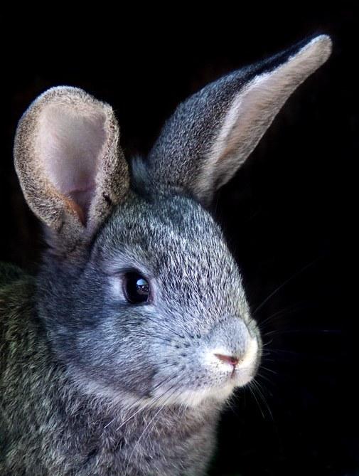 Как выделывать кроличьи шкуры