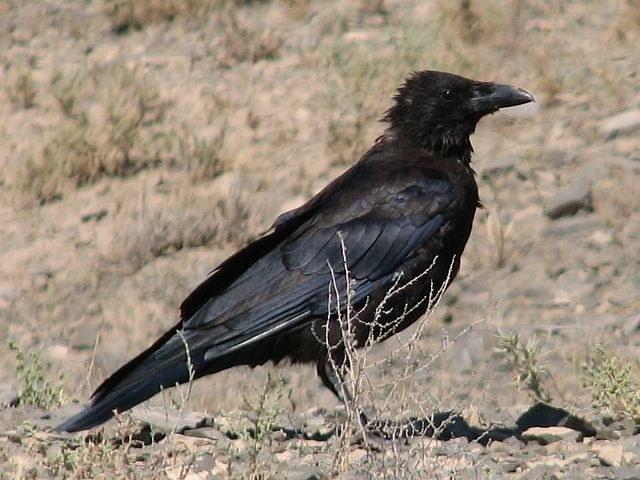 содержать дома ворона