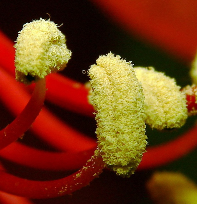 Как употреблять цветочную пыльцу