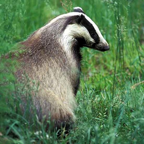 How to cook a badger