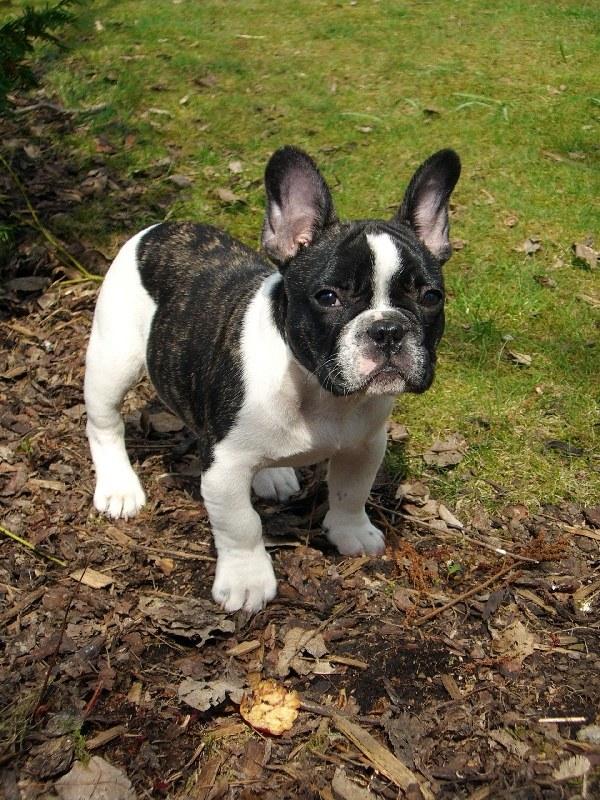 ушной клещ у собак лечение
