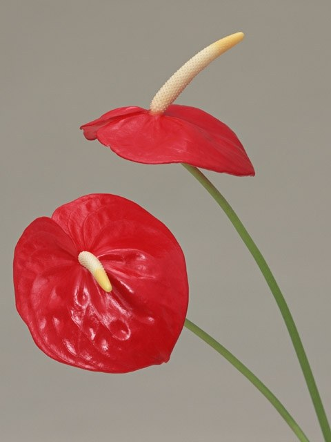 How to propagate Anthurium