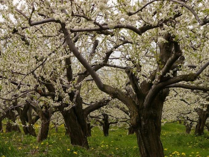 Как обрезать старые яблони