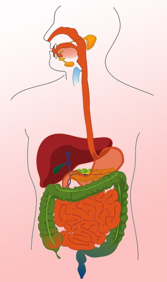 What is the human digestive system