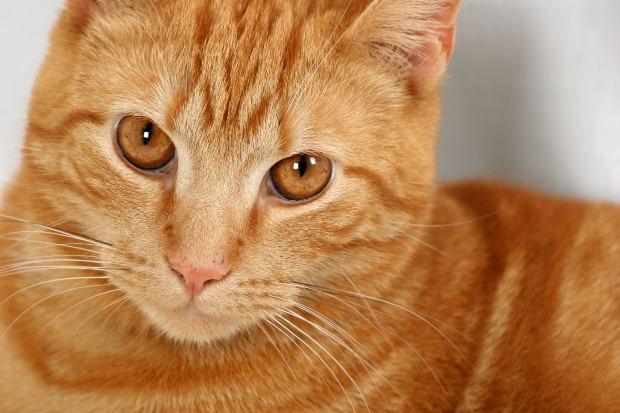 лечение печени у кошки