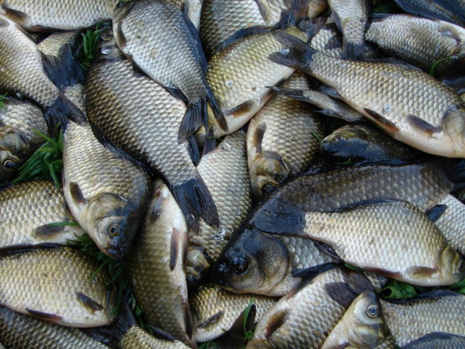 How to catch carp and crucian carp
