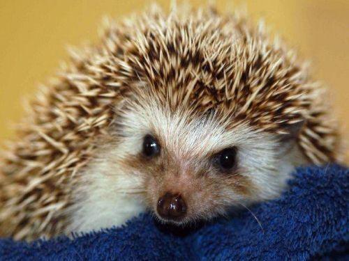 How to keep a hedgehog