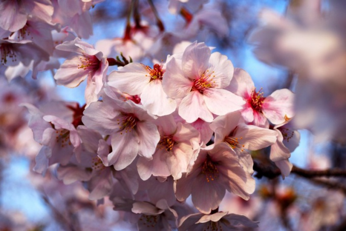 How to draw a Sakura flower