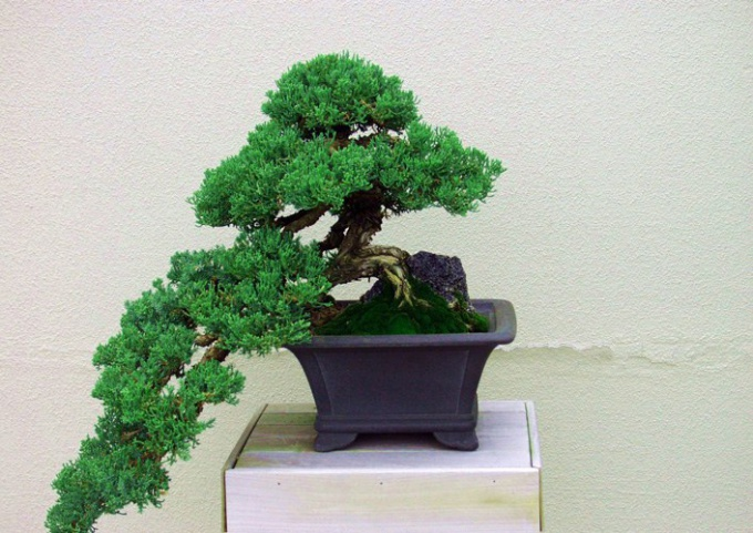 How to grow bonsai pine