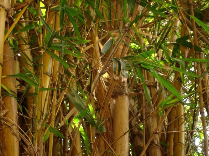 Как разводить бамбук