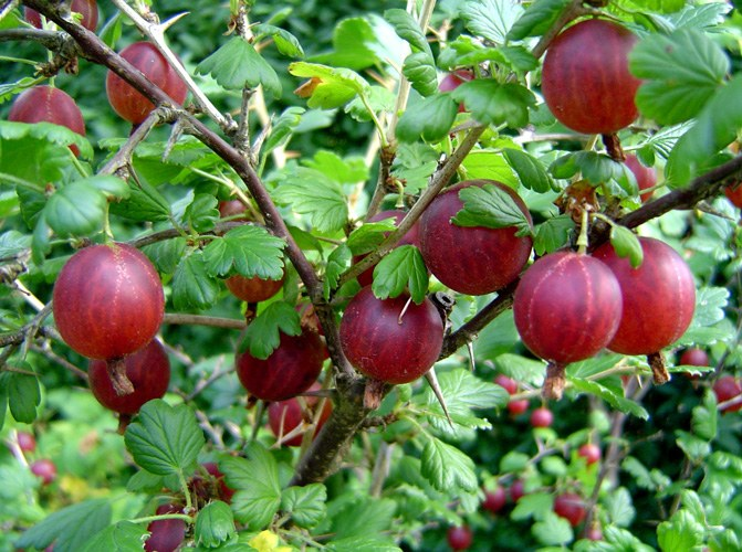 How to prune gooseberries