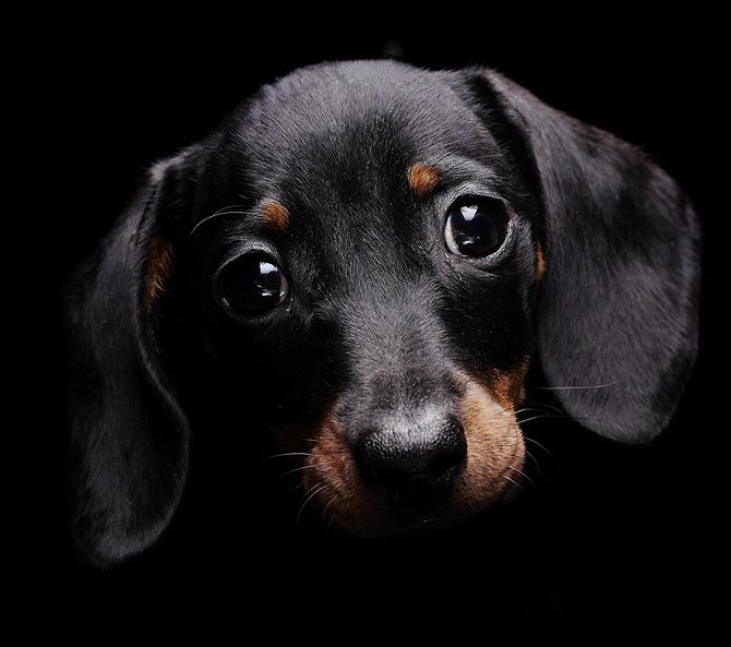 How to determine the age of the Dachshund