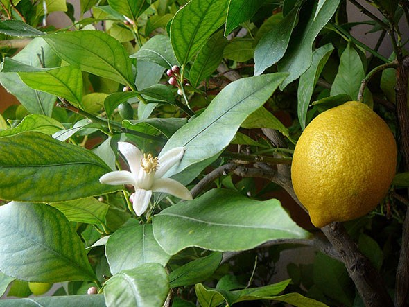 How to grow indoor lemon