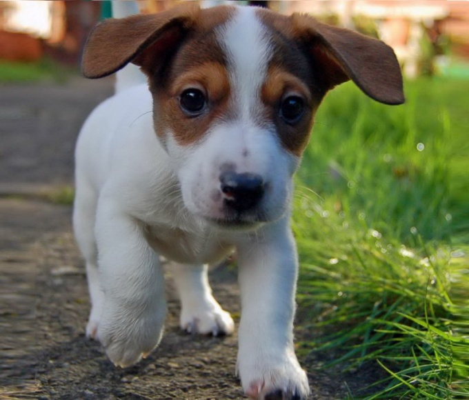 How to raise a puppy Jack Russell Terrier