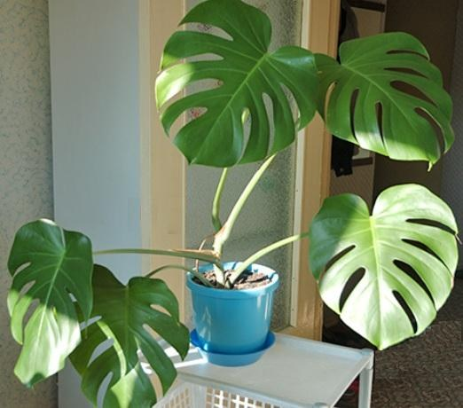 How to plant monstera