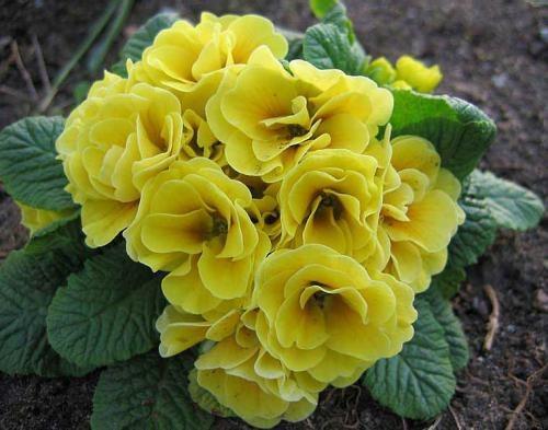 How to plant primrose