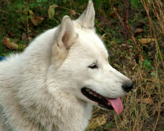How to feed a Siberian husky